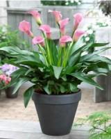 калла цветок уход в домашних условиях фото