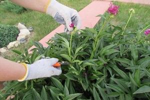 Когда срезать листья пионов после цветения
