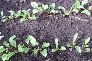 сколько всходит арбуз после посева семян