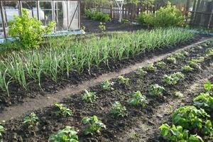 Рядом с чем можно и нельзя сажать помидоры? Огород 38
