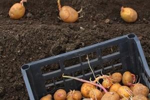Как и когда можно сажать картофель 737