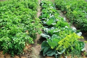 Порядок на грядках: какие растения несовместимы друг с другом 3