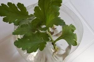 Как размножить хризантему черенками? - Магия растений