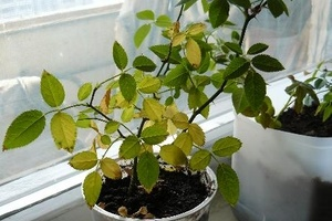 Почему желтеют и опадают листья у комнатной розы