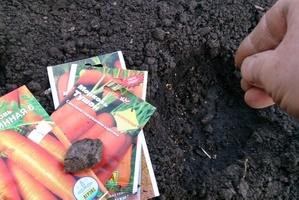 Когда сажать морковь в 2017 53
